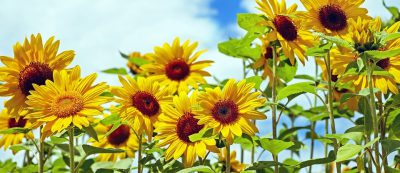 sunflower-1495136_960_720